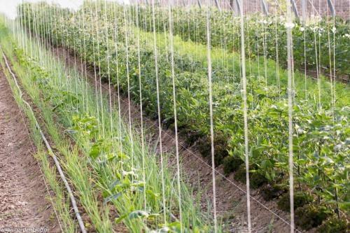 Strat cu salată intercalată între plantele de roșii.
