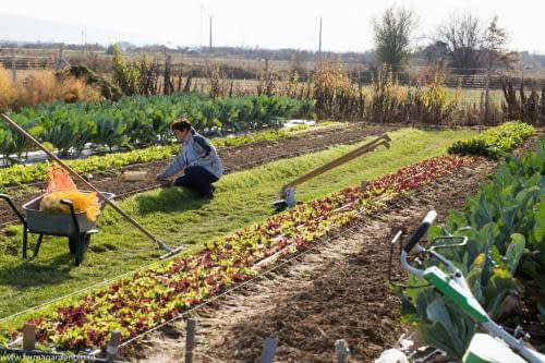 Plantăm usturoiul de toamnă