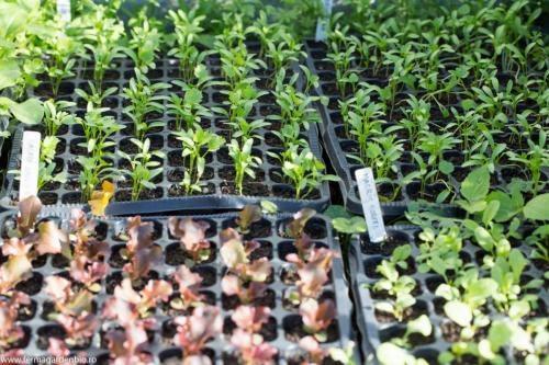Răsaduri de salata, coriandru