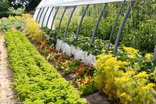 Condurași - capcane pentru dăunători și flori de umbelifere pentru atragerea în solar a polenizatorilor