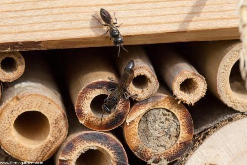 O pereche de viespi paraziți  caută  adăpost la hotelul de insecte