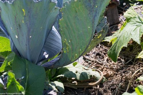 Broaștele din iaz și șopârlele ne scapă de melcii și limacșii de la vărzoase
