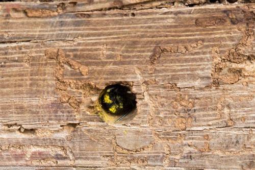 Albină solitară la hotelul de insecte