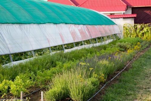 Straturi cu plante plante aromatice