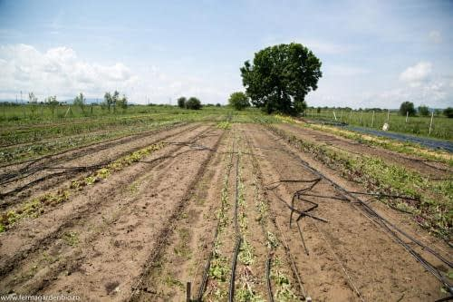 Culturile din câmp au fost afectate aproape în totalitate furtuna asociată cu grindină. Am replantat toate răsadurile din câmp: roșii, ardei, vinete etc.