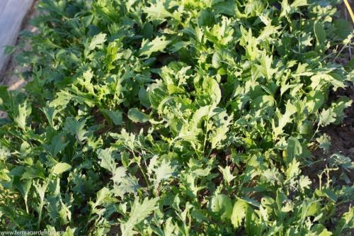 Salată mesclun Ovation