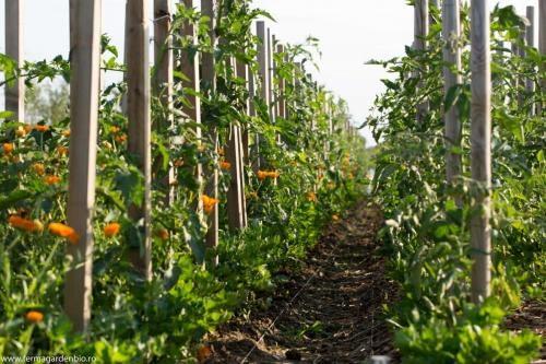 Țelină frunze și tomate