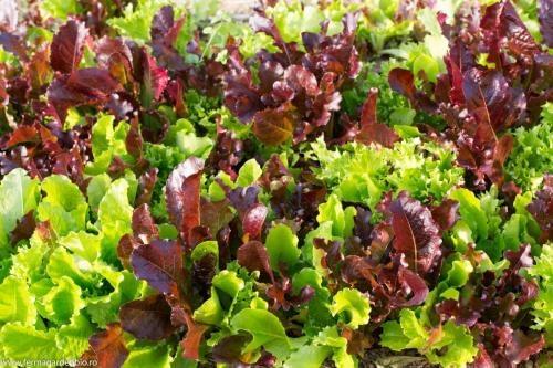 Salata mesclun