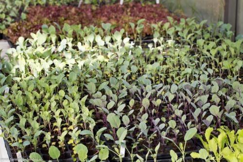 Răsaduri de conopidă, brocoli