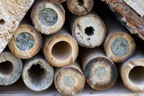 Cuiburi căpăcite de albinele solitare în hotelul de insecte