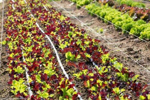 Salata mesclun Five Star