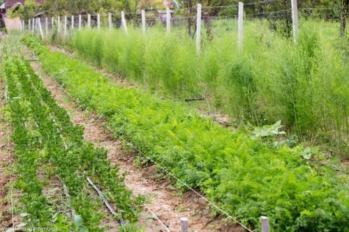 Straturi cu țelină, morcovi, sparanghel