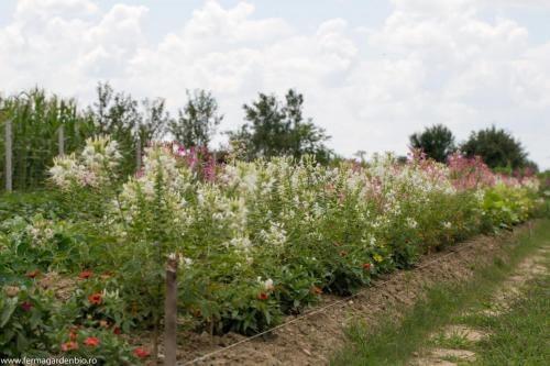 Strat cu cleome și alte flori ce atrag polenizatorii
